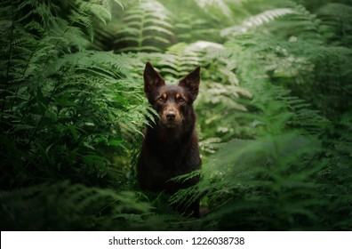 dog breed Australian Kelpie in the woods. pet on nature, outside