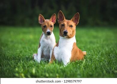 Dog breed Basenji and her Puppy breed Basenji