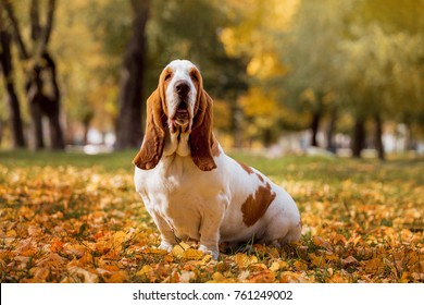 Dog breed Basset Hound