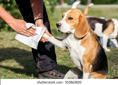 the dog breed beagle have dirty paw