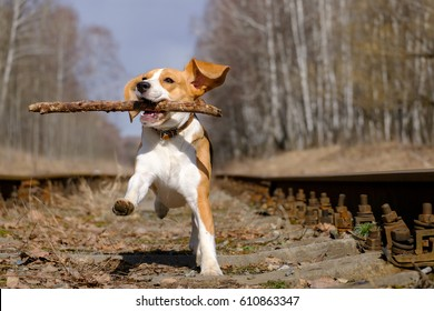 Dog breed Beagle at the spring walk runs around and plays with a stick in your teeth