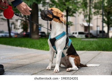 Dog breed beagle walking in harness and muzzle on roulette with the owner in town