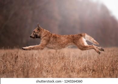 dog breed belgian shepherd lakenua in the autumn forest