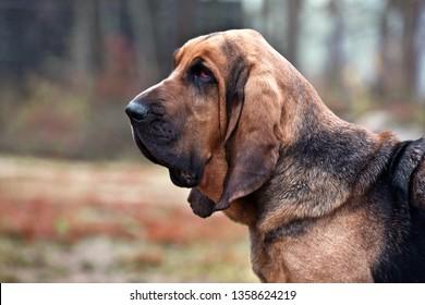 Dog breed bloodhound portrait in autumn park