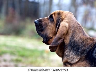 Dog breed bloodhound portrait on nature