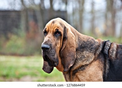 Dog breed bloodhound portrait on nature