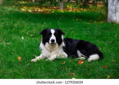 Dog breed Border Collie is lying down on green grass