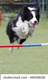 Dog  breed of the Border Collie at training on agility