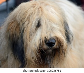 Dog of the breed Briard