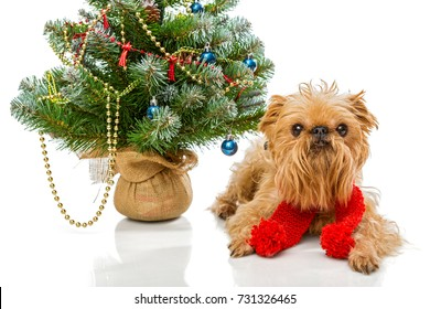 Dog breed Brussels Griffon and a Christmas tree