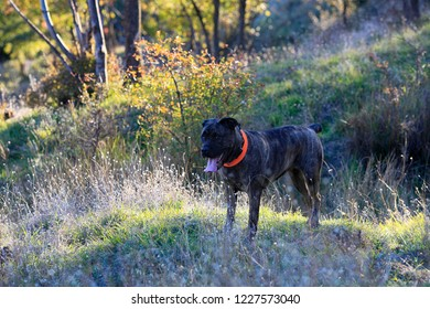 Dog breed Cane Corso on a sunny lawn in the forest