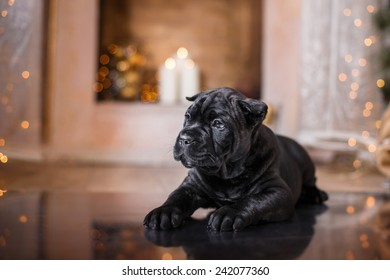 Dog breed Cane Corso puppy, portrait dog on a studio color background, Christmas and New Year