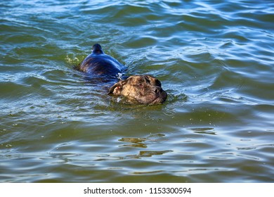 Dog breed Cane Corso swims in the water