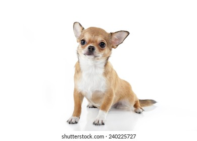 Dog of breed of a chihuahua.