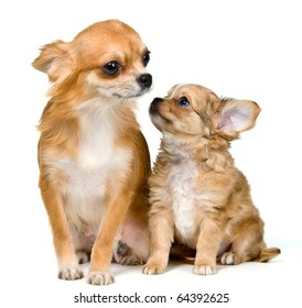 Dog of breed chihuahua and its puppy in studio