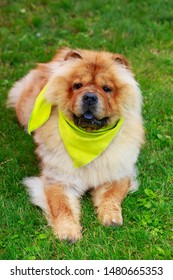 The dog breed Chow Chow a close up