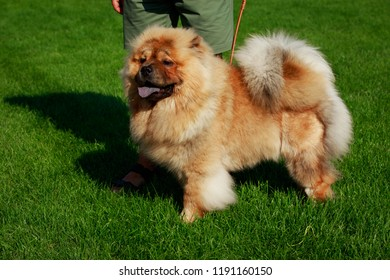 Dog breed chow chow in green grass