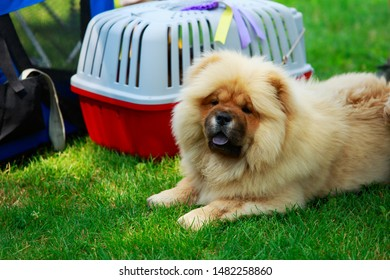 Dog breed Chow Chow on a carrier bag background