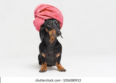 dog  breed of dachshund, black and tan, after a bath with a red towel wrapped around her head isolated on white background