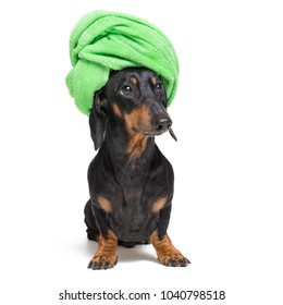 dog  breed of dachshund, black and tan, after a bath with a green towel wrapped around her head isolated on white background