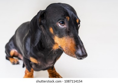 dog of the breed of dachshund, black and tan, looks guilty and scary to his master, on a gray background