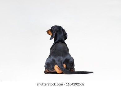 dog breed of dachshund, black and tan looking straight, from behind showing back and  rear torso , while sitting, isolated on gray background