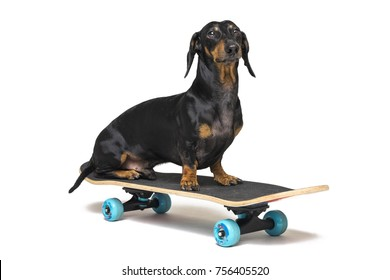 dog breed Dachshund, black and tan, sits on skateboard isolated on white background. Skateboarding dog.