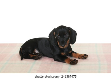 dog breed dachshund lying on a blanket