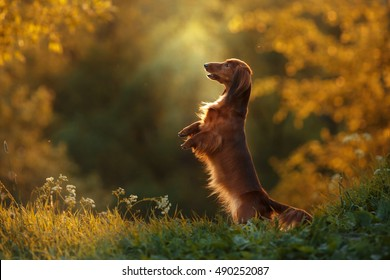 Dog breed dachshund, walking in the evening, in the summer in the park