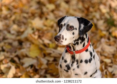 dog breed Dalmatian on a walk beautiful portrait