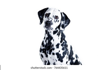 dog breed Dalmatian on white background portrait