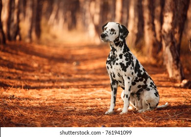 dog breed Dalmatian for a walk