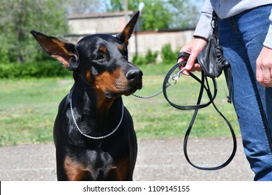 Dog breed Doberman on a morning walk on a summer day