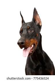 dog breed Doberman pincher portrait on white background