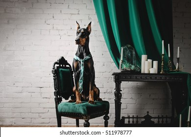 Dog breed Doberman sitting in a beautiful classic interior with curtains and candles.
