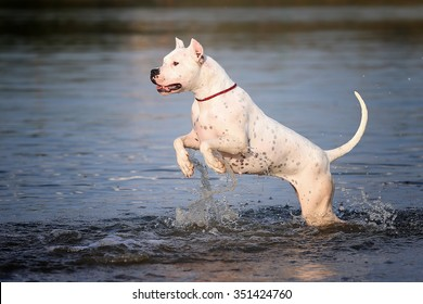 Dog breed the Dogo Argentino in the water