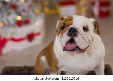 dog breed English bulldog under the Christmas new year tree sitting on basket close to presents happy smiling
