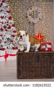 dog breed English bulldog under the Christmas new year tree sitting on basket close to presents happy smiling