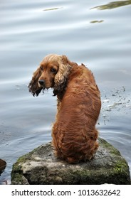 Dog breed English cocker spaniel on the river bank sitting on a stone