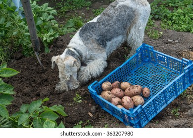 Dog breed fox terrier digs in the garden of potato tubers. Crate with vegetables on the ground. Vintage infield. The fertile black soil.
