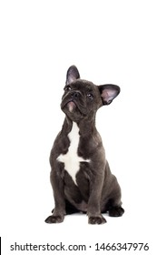 dog breed french bulldog sits on a white background