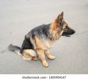 Dog breed German Shepherd, longhair. Black-red wool color. Sits on the pavement. On the watchman. Profile view.