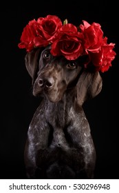 Dog breed German Shorthaired Pointer is dark brown in color sitting on the floor. Close-up