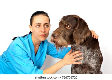 dog breed  german wirehaired pointer examination by a veterinary doctor
