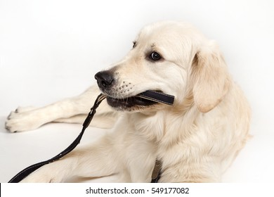 The dog of breed of Golden Retriever lies on a white background and gnaws a black lead.