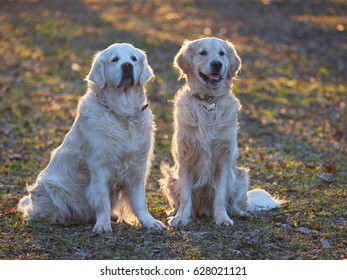 Dog breed golden retriever for a walk in the spring park