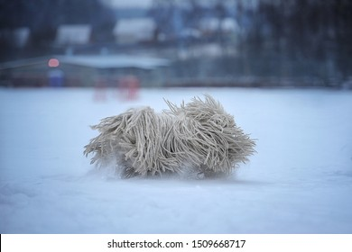 dog breed Hungarian puli run in nature. In winter, a dogs with white hair. Winter mood, snow, cold