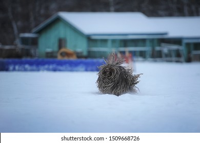 dog breed Hungarian puli run in nature. In winter, a dogs with  gray hair. Winter mood, snow, cold