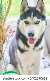Dog breed husky, sitting near the window.  Beautiful emotional, good home, pet animal black and white.