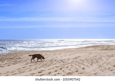 The dog breed of irish setter go walking along the sandy shore of the Atlantic ocean in Portugal coast.
